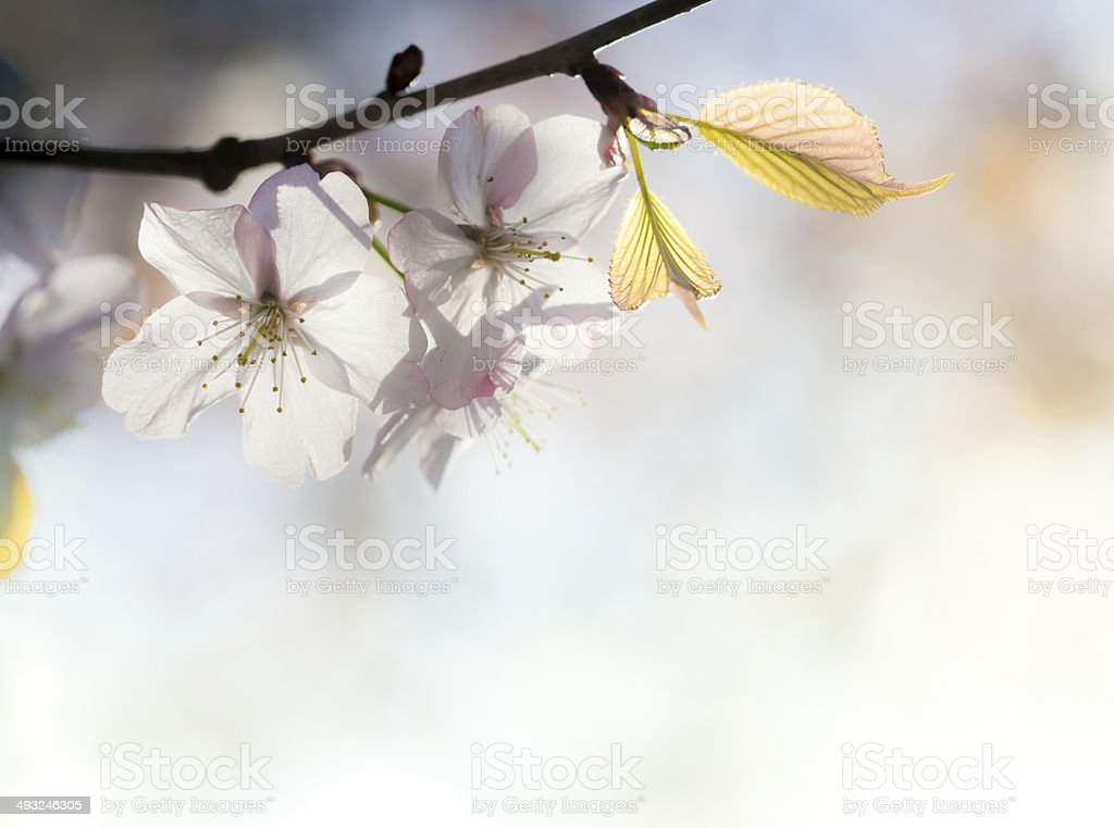 soft pink cherry blossom and leaf stock photo
