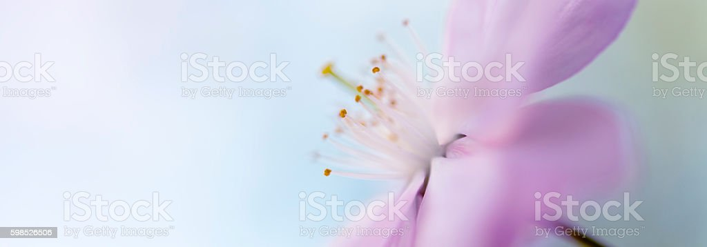 soft Pink cherry blossom banner  letterbox stock photo