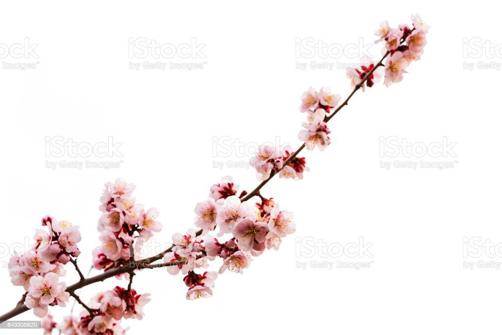 Weiche rosa Kirschblüte oder Sakura isoliert auf weiss – Foto