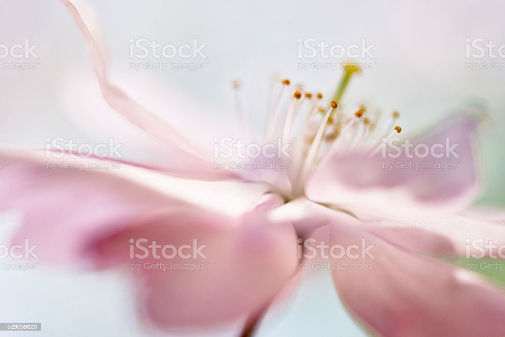 soft Pink cherry blossom stock photo