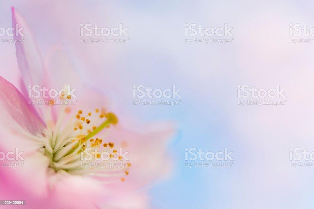 soft Pink cherry blossom stock photo