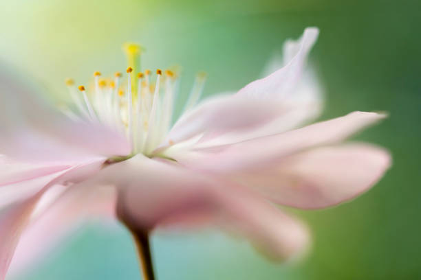 soft pink cherry blossom - soft focus stock photos and pictures
