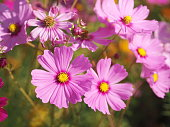 Soft Pink color flower, sulfur Cosmos, Mexican Aster flowers are blooming beautifully springtime in the garden, blurred of nature background