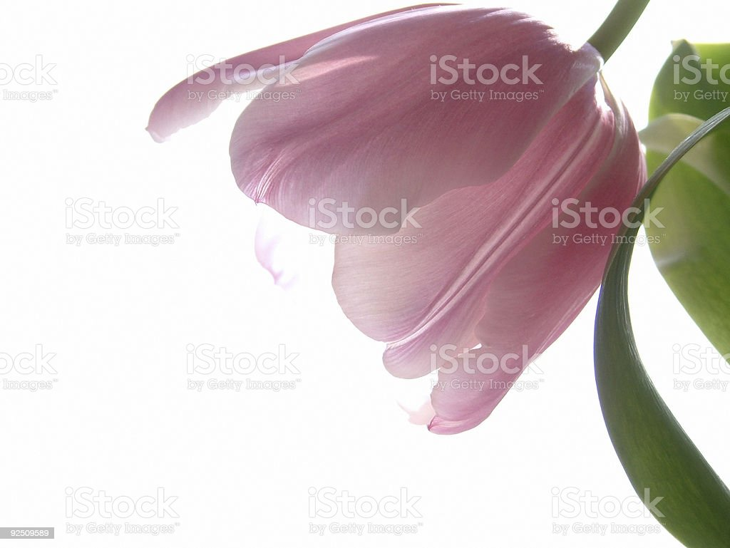 soft pink royalty-free stock photo