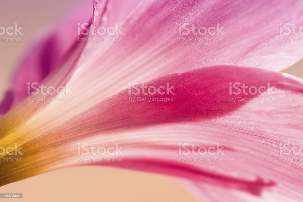 Soft Pink Rain Lily royalty-free stock photo