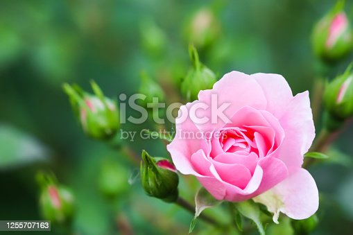 Soft pink rose Bonica with buds in the garden. Perfect for background of greeting cards for birthday, Valentine's Day and Mother's Day