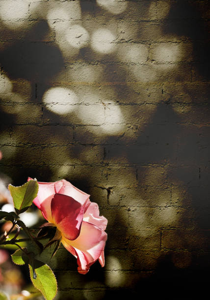 A soft pink rose on a grungy brick textured sepia background with a text area. stock photo