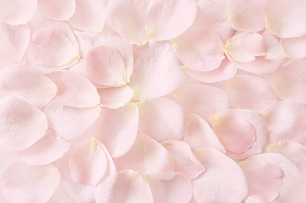 soft pink rose petals background - pétala imagens e fotografias de stock