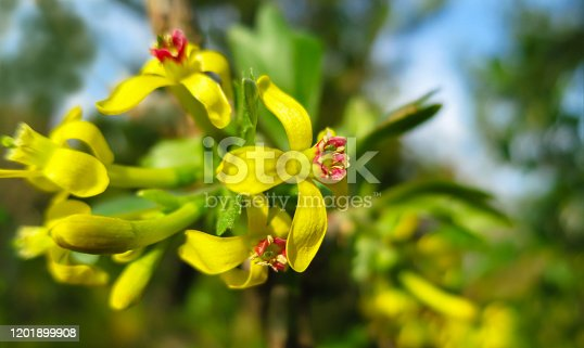 istock Soft selective focus of yellow Ribes aureum flower blooming. Flowers golden currant, clove currant, pruterberry and buffalo currant on garden green background. 1201899908