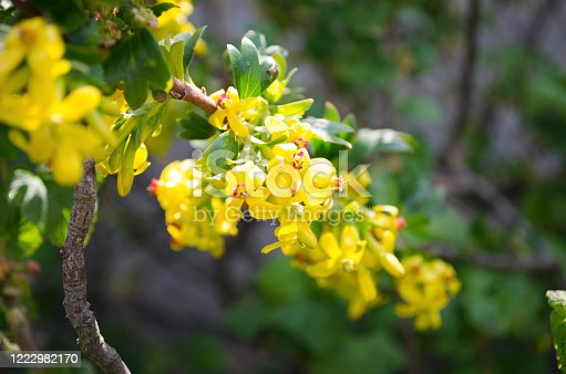istock Soft selective focus of yellow Ribes aureum flower flowers. Currant flowers red and black, gold, cloves, raspberries and buffalo on a blurred background. Place for your text. Spring landscape 1222982170