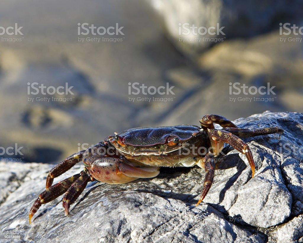 Soft Shell Crab stock photo