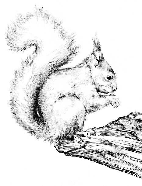 Eichhörnchen Zeichnen Bilder Und Stockfotos Istock