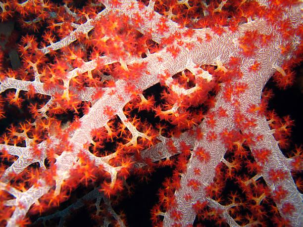 Soft Tree Coral stock photo