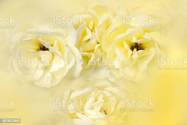 Soft yellow rose nature abstract background picture id827622942?b=1&k=6&m=827622942&s=612x612&h=tc2crzdsdslf1ylytq 4xeebuvxgu51k4azexxymrqu=