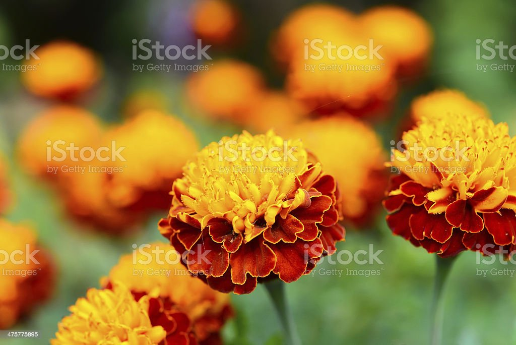 Soft-focus Beautiful Marigold flower in the garden royalty-free stock photo