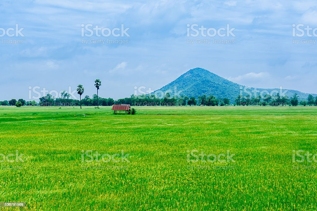 softlight from sunshine landscape view of Toddy palm and rice-fi stock photo