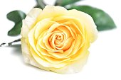 istock Softly style of a sweet yellow rose flower blossom on white isolated background 1203920250