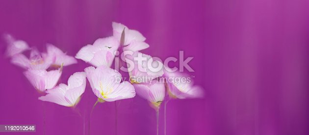 901386728 istock photo Softness pink Lavater flowers in purple haze. 1192010546