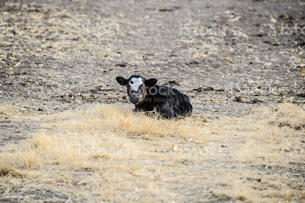 Soiitary calf in drought-striken pasture royalty-free stock photo