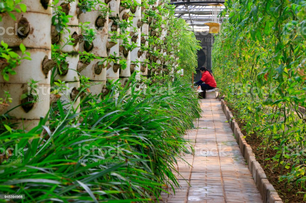 Soilless cultivation and the lady in red stock photo