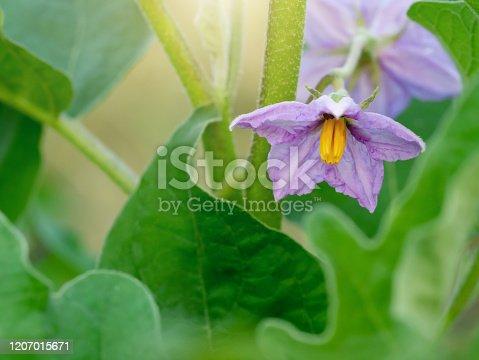 Solanum xanthocarpum Schrad flowers.