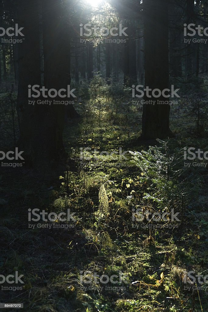 Solar beam in morning forest royalty free stockfoto