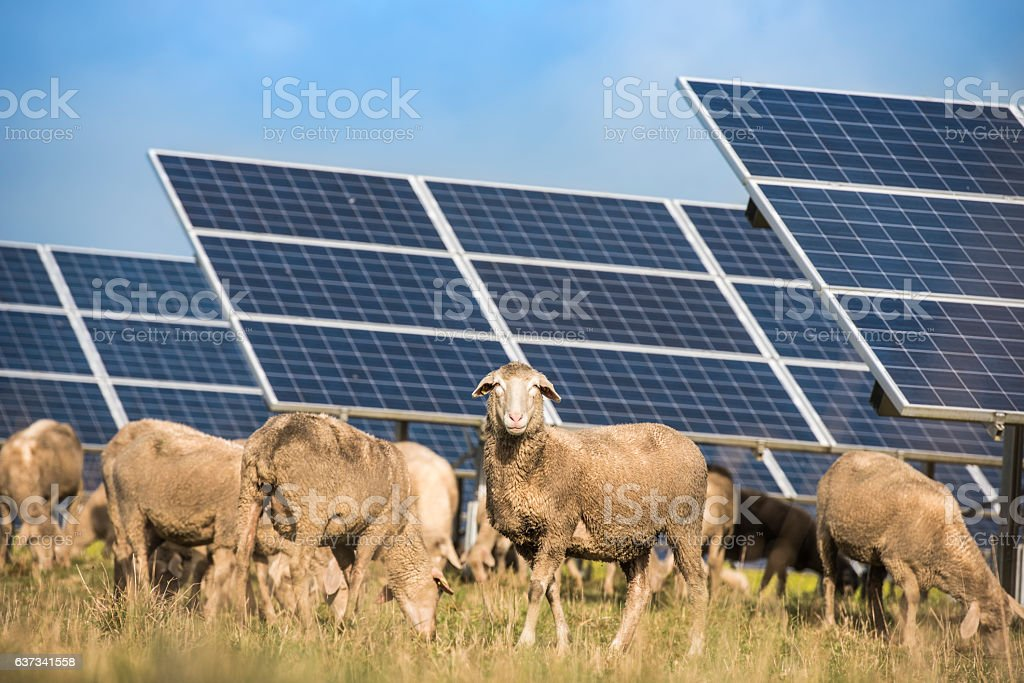 Solar panels with sheep stock photo