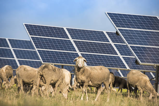 Solar panels with sheep – Foto