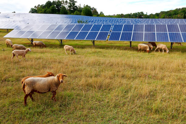 solar power station with sheep stock photo