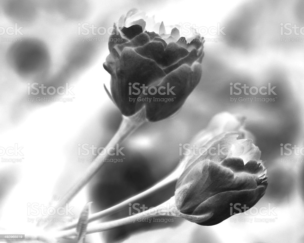 Solarized Magnolia Blossoms in black and white stock photo