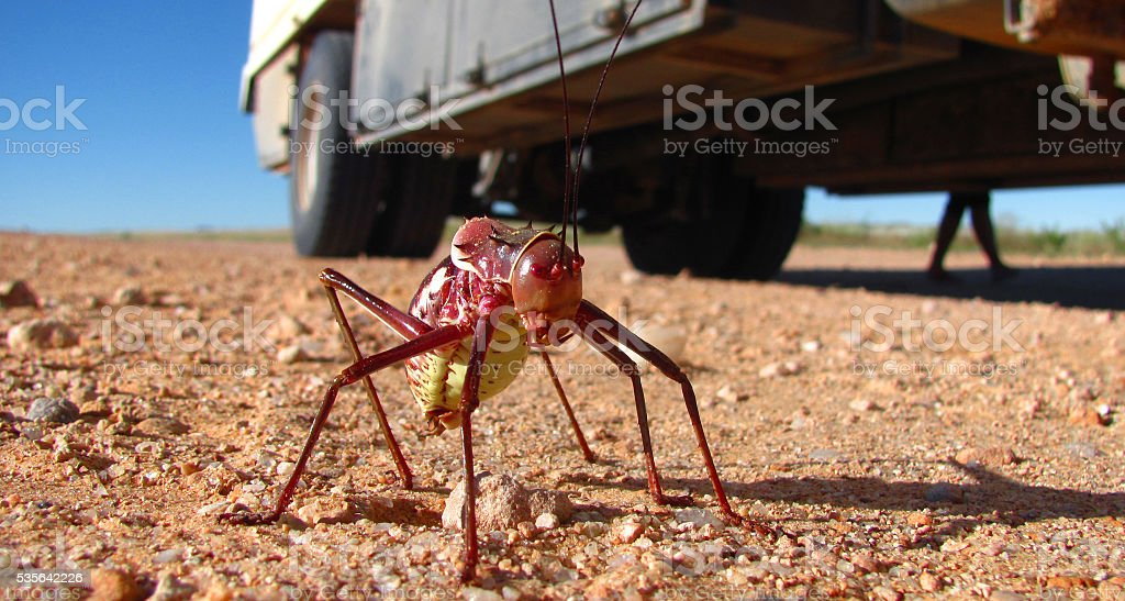 Soldier armoured corn cricket insect looking up desert truck stock photo