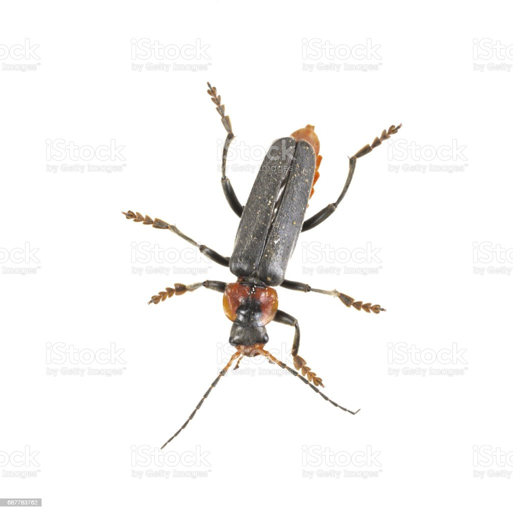 Soldier beetle on a white background stock photo