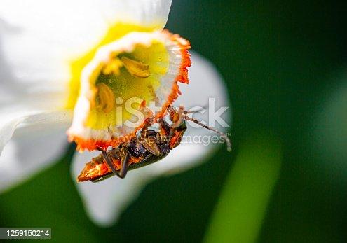 Soldier beetle on a daffodil flower, Rhagonycha fulva