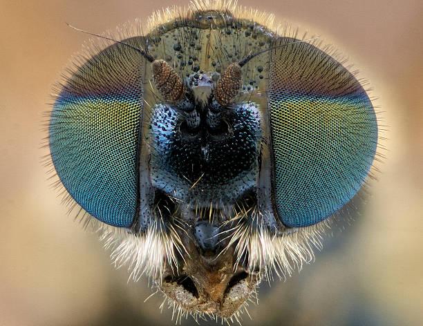 Soldier Fly (Stratiomyidae) stock photo