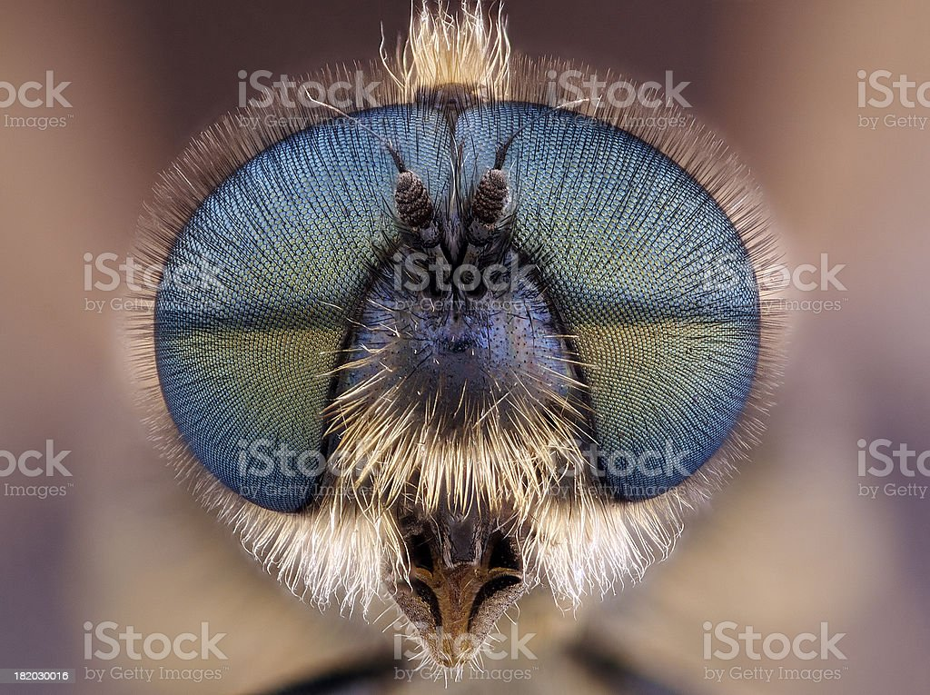Soldier Fly (Stratiomyidae) royalty-free stock photo
