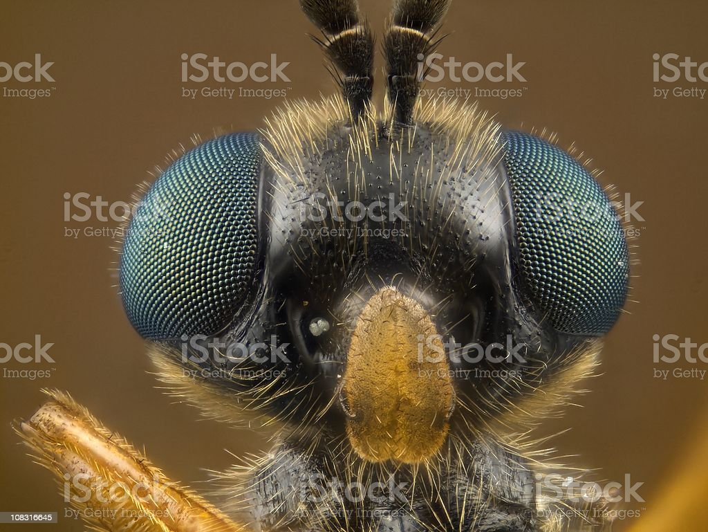 Soldier Fly [Stratiomyidae] stock photo