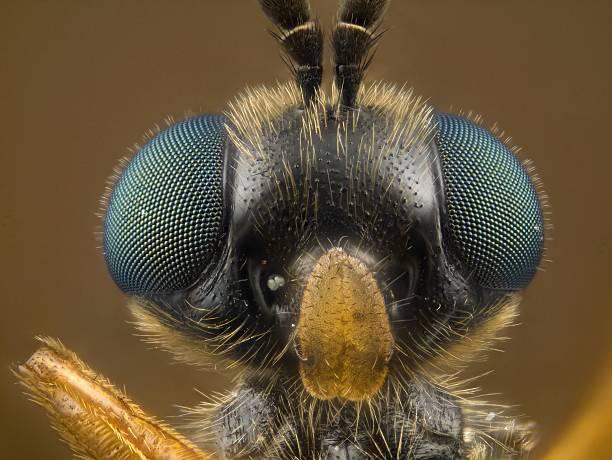 Soldier Fly [Stratiomyidae] stock photo