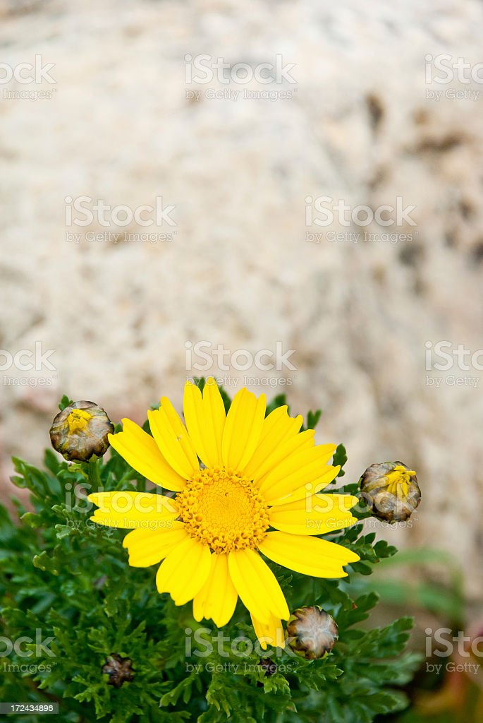 Soldier of Spring royalty-free stock photo