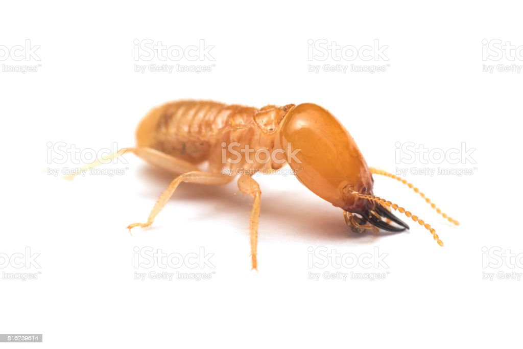 Soldier termite on white background stock photo
