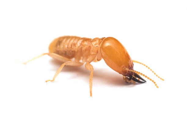 Soldier termite on white background Soldier termite on white background termite stock pictures, royalty-free photos & images