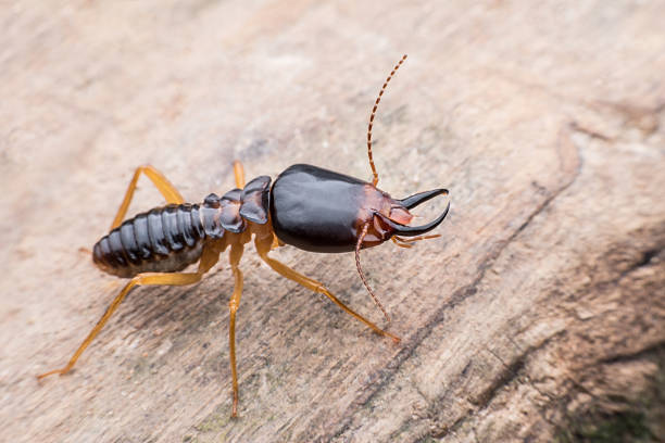 Soldier termite Soldier termite on wood isoptera stock pictures, royalty-free photos & images