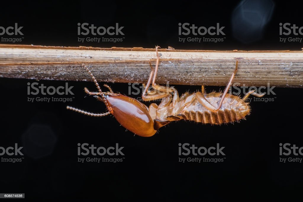 Soldier Termite stock photo
