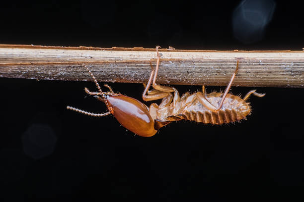 Soldier Termite Close up Soldier Termite on branch termite stock pictures, royalty-free photos & images