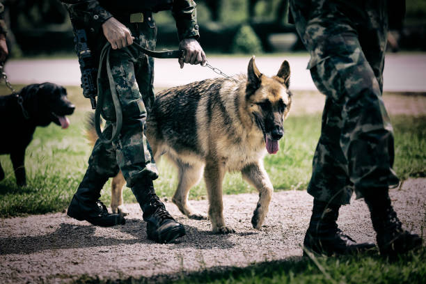 soldier with military working dog. - canide foto e immagini stock