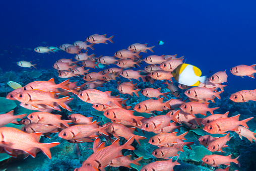 A large school of bigscale or blotcheye soldierfish (Myripristis Berndti) and a couple of pyramid butterflyfish swimming free over the rich and pristine coral reefs in Palau, Micronesia