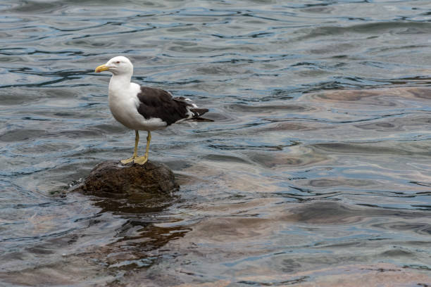 A sole gull floating at the Conceicao Lagoon. stock photo
