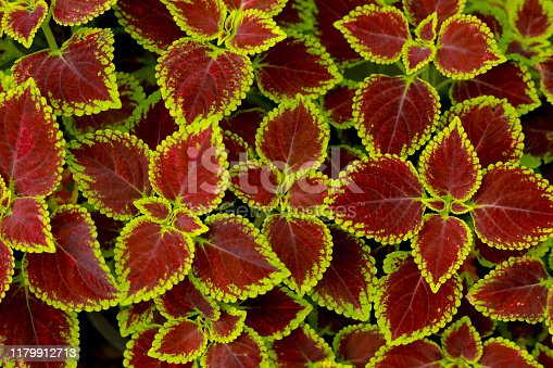 Solenostemon scutellarioides L. Red and green leaves of the colors plant, Plectranthus scutellarioides