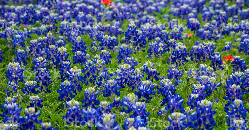 A Solid Patch Of Bluebonnets The Texas State Flower Stock Photo