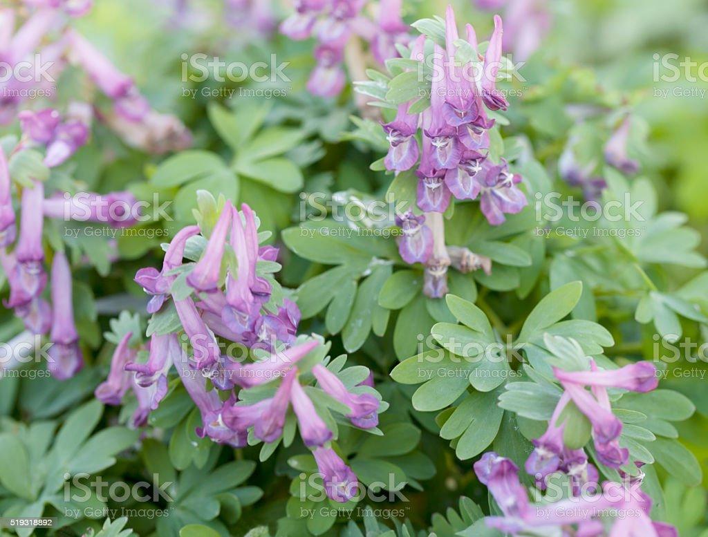 Solid Tubered Corydalis (Corydalis solida) stock photo