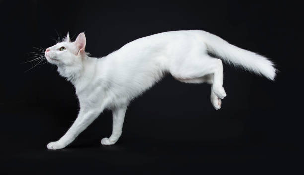 Solid white turkish angora cat with green eyes jumping landing side picture id956130728?b=1&k=6&m=956130728&s=612x612&w=0&h=xmlpu t7ot4ex0tdwujgdcxvqc0hdggges9cmfh7eqa=